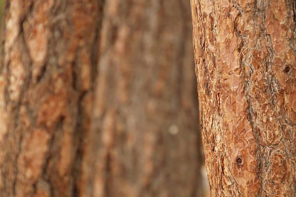 Ponderosa Pine Bark Detail Poster