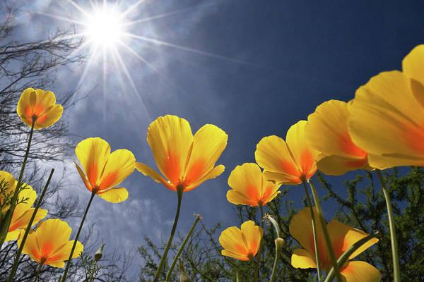 Poppies Enjoy The Sun Poster