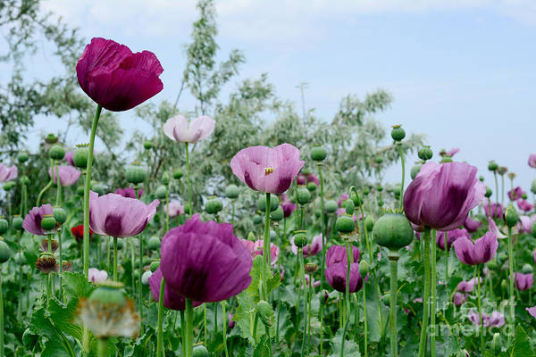 Poppy Flower. Variety Of Colors. Very Poster