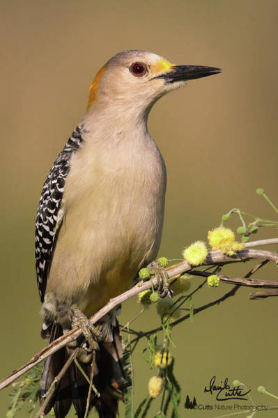 Portrait Of A Golden-fronted Woodpecker Poster
