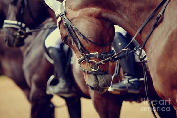 Portrait Of A Sports Stallion. Riding Poster