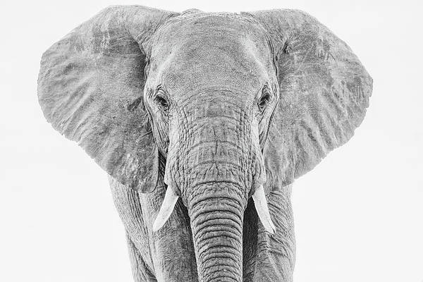 Portrait Of An African Elephant Bull In Monochrome Poster
