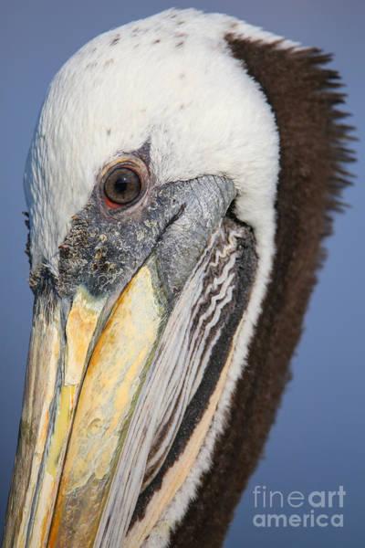 Portrait Of Brown Pelican Pelecanus Poster