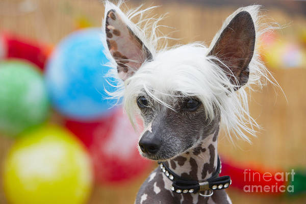 Portrait Of Chinese Crested Dog - Copy Poster