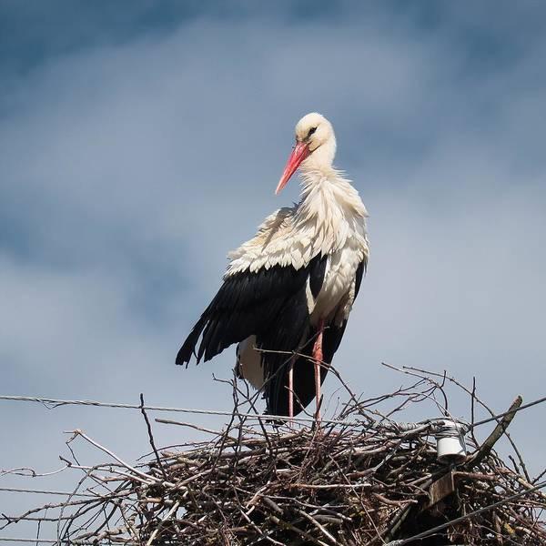 Portrait Of Stork. Horytsya, 2015. Poster