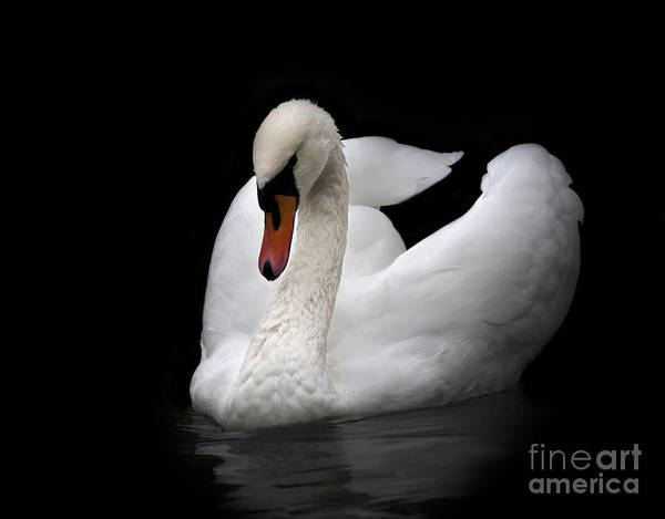 Portrait Of Whooping Swan, Isolated On Poster