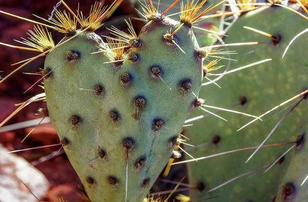 Poster featuring the photograph Prickly Pear Heart 1 by Dawn Richards
