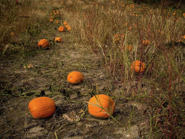 Pumpkins Lying In A Field Poster