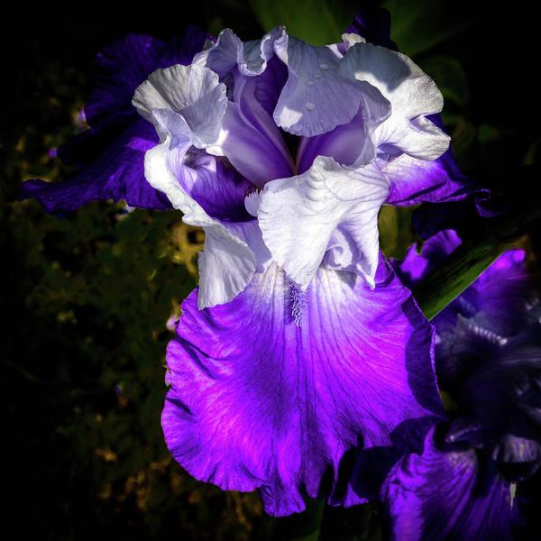 Purple And White Iris Poster