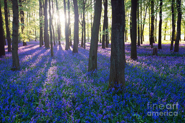 Purple Bluebell Woods In Early Morning Poster