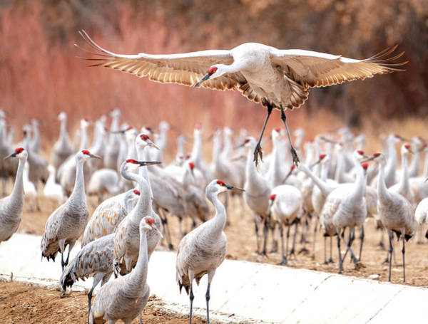 Ready Or Not, Here I Come -- Sandhill Cranes Poster