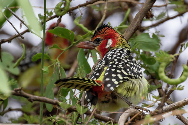 Red-and-yellow Barbet Poster