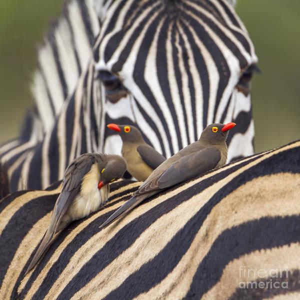 Red-billed Buffalo-weaver In Kruger Poster