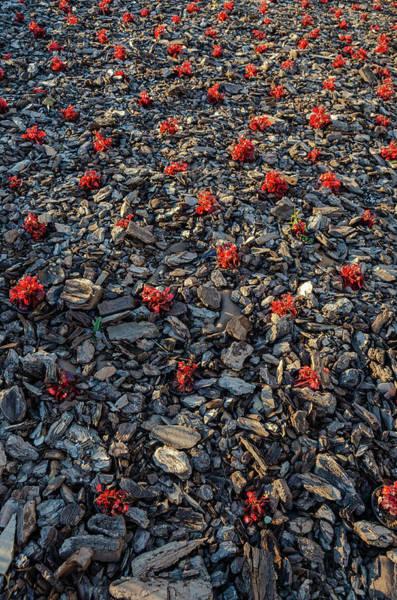 Red Flowers Over Stones Poster
