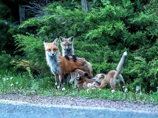 Red Fox Family Poster