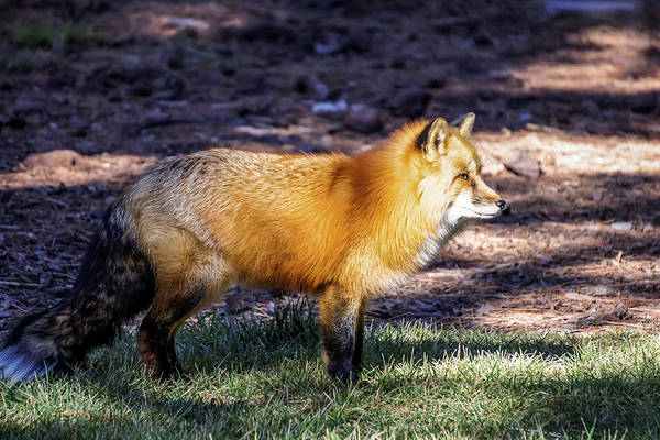 Poster featuring the photograph Red Fox In Morning Sun by Dawn Richards