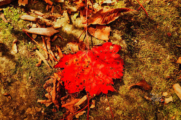 Red Leaf On Mossy Rock Poster