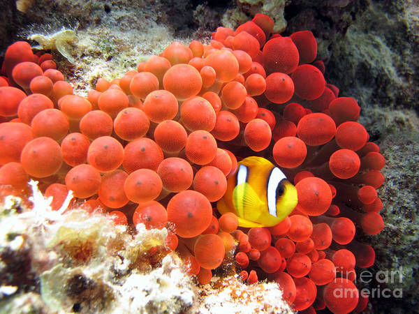 Red Sea Anemonefish In Red Anemone Poster
