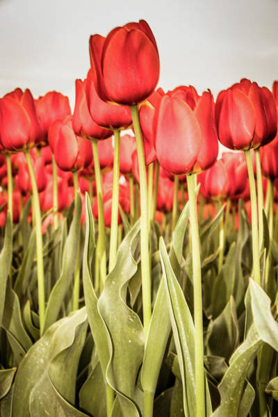 Poster featuring the photograph Red Tulip Field In Portrait Format. by Anjo Ten Kate