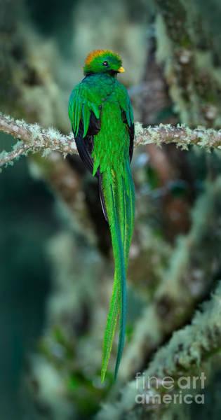 Resplendent Quetzal, Pharomachrus Poster
