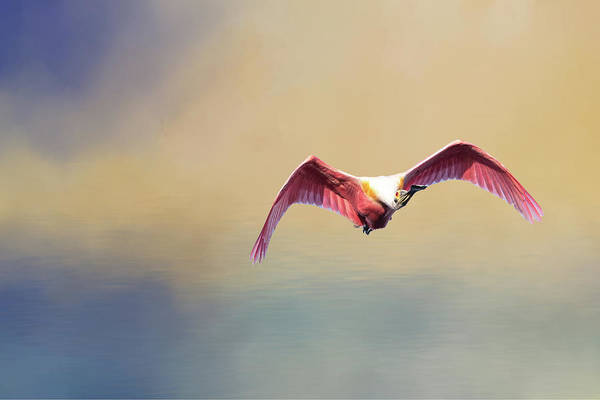 Roseate Spoonbill At Sunrise Poster