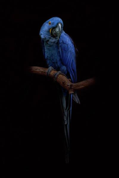 Royal Blue Beauty  Poster