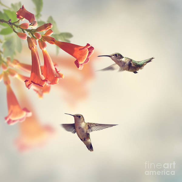 Ruby Throated Hummingbirds Hover Over Poster