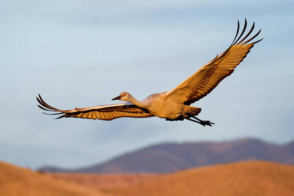 Poster featuring the photograph Sandhill Crane by Nicole Young
