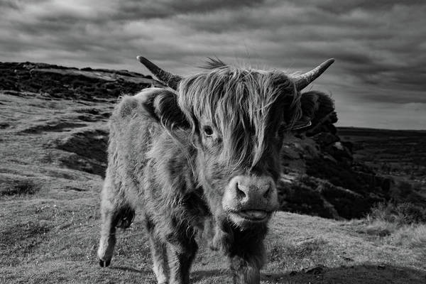 Saying Hello To A Highland Cow At Baslow Edge Black And White Poster