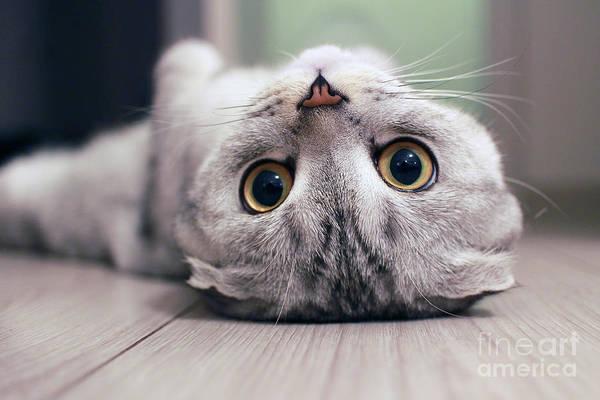 Scottish Fold Cat Lying On The Back Poster