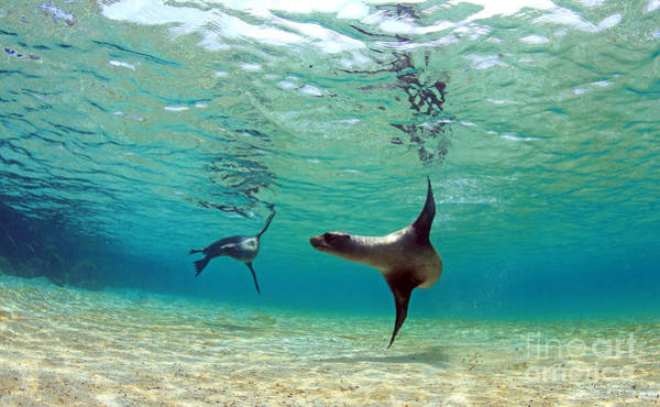 Sea Lion Swimming Underwater In Tidal Poster