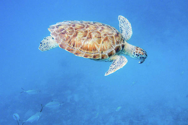 Sea Turtle And Fish Swimming Poster