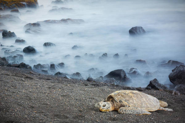 Poster featuring the photograph Sea Turtle by Nicole Young