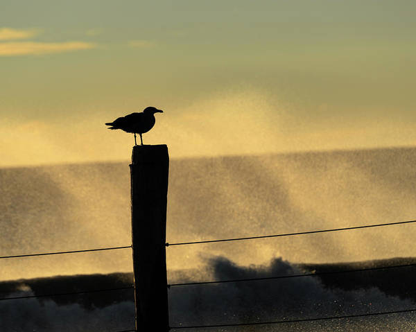 Seagull Silhouette On A Piling Poster