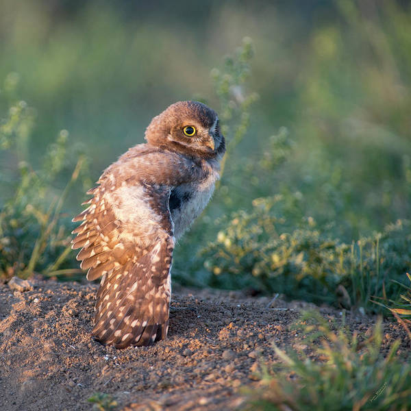 Shy Young Burrowing Owl Poster