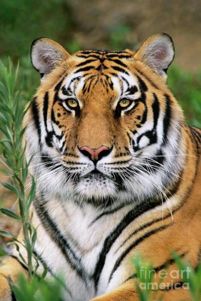 Siberian Tiger Staring Endangered Species Wildlife Rescue Poster