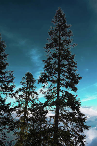 Silhouette Of Tall Conifers In Autumn Poster
