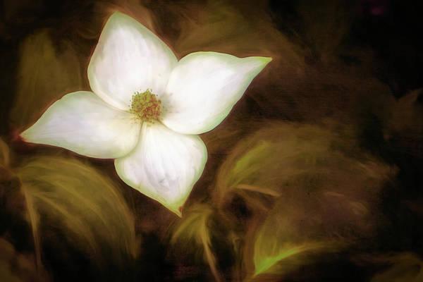 Single Dogwood Flower Sepia Poster