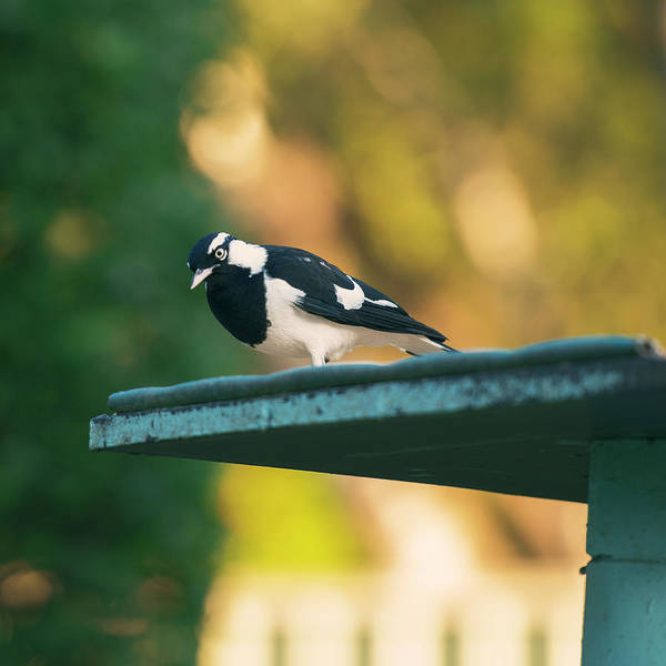 Small Magpie Lark Outside In The Afternoon Poster