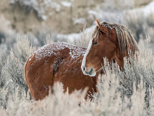 Snow Dusted Mustang Stallion Poster
