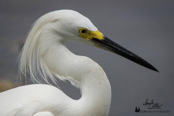 Snow Egret Portrait Poster