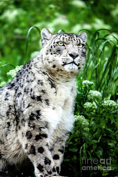 Snow Leopard, Leopard Art, Animal Decor, Nursery Decor, Game Room Decor,  Poster