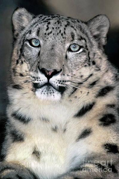 Snow Leopard Portrait Endangered Species Wildlife Rescue Poster