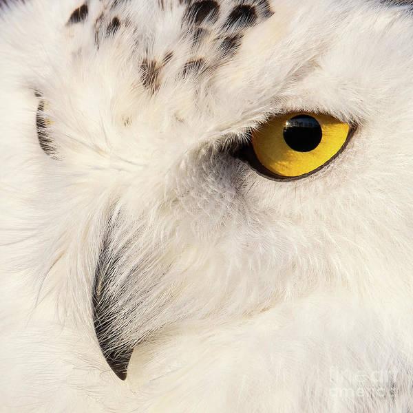 Snow Owl Eye Poster