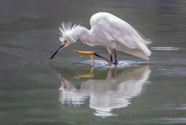 Snowy Egret 3042-072319 Poster