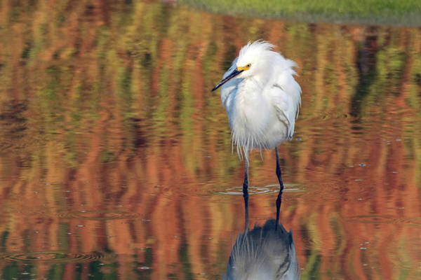 Snowy Egret 6249-061219 Poster
