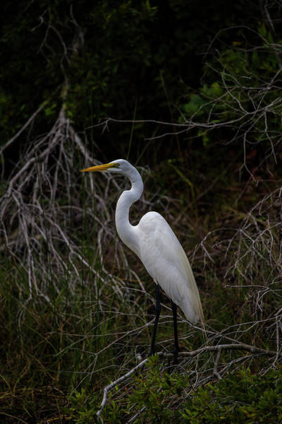 Snowy Egret On A Hot Summer Day Poster