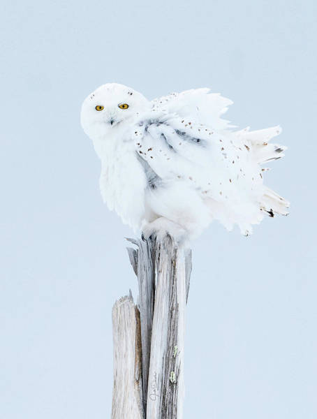 Snowy Owl Feather Shake Poster