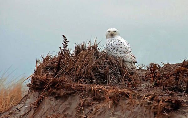 Poster featuring the photograph Snowy Owl In The Dunes by Wayne Marshall Chase