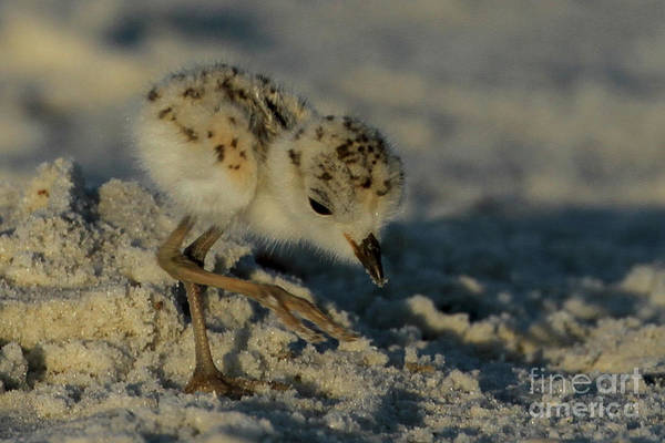 Snowy Plover On The Hunt Poster
